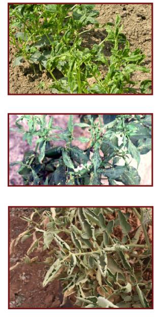 pomidoru ligos ir virusai
