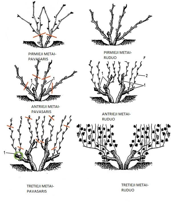 pavasarinis vynuogių genėjimas