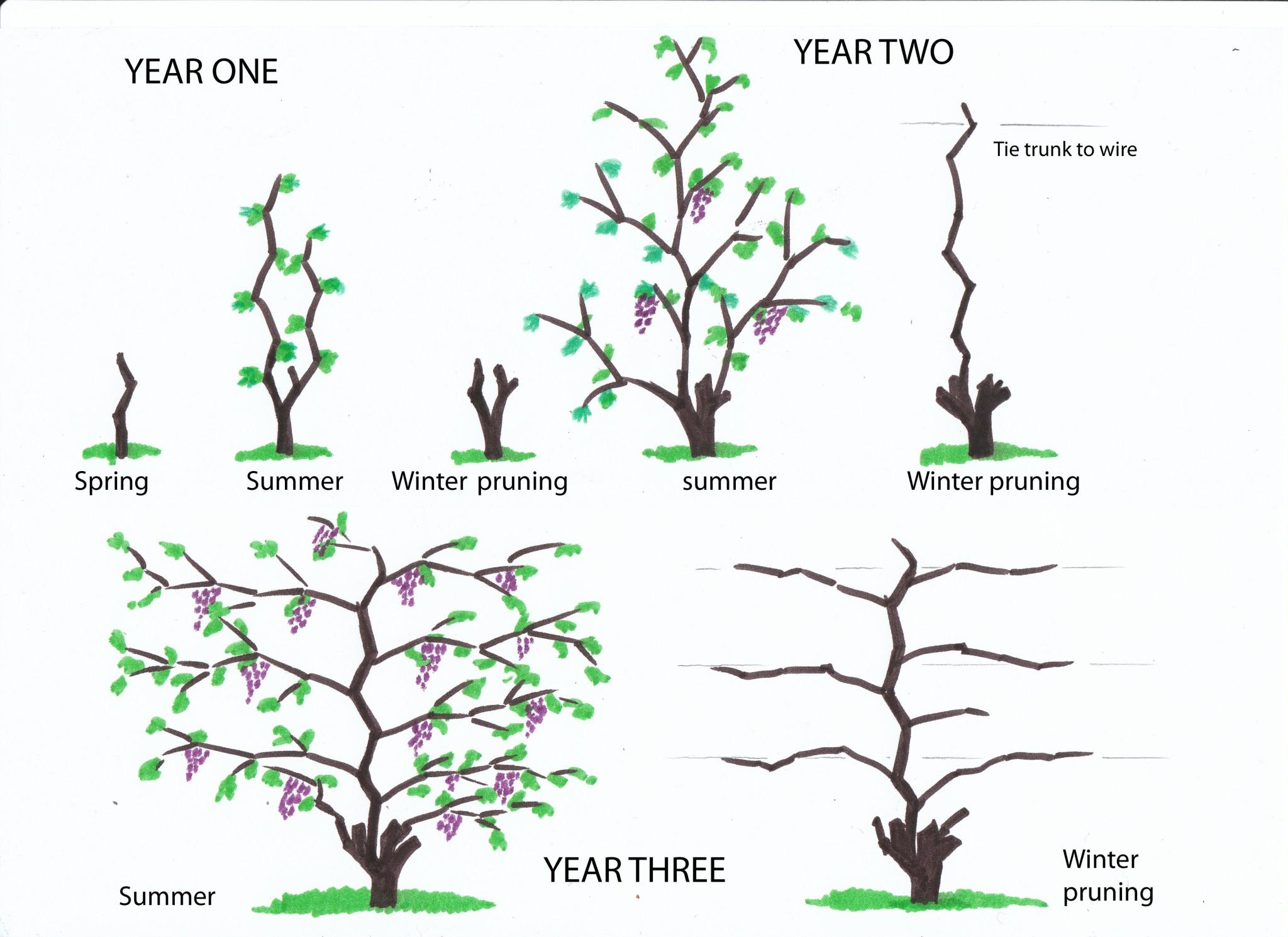 kaip genėti vynuoges