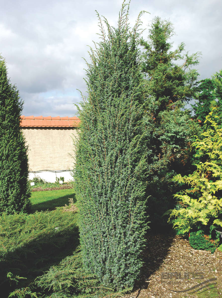 gyvatvori augalai spygliuo iai myliusod lt. Black Bedroom Furniture Sets. Home Design Ideas