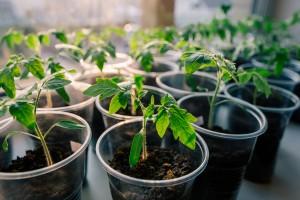 kaip auginti pomidorus